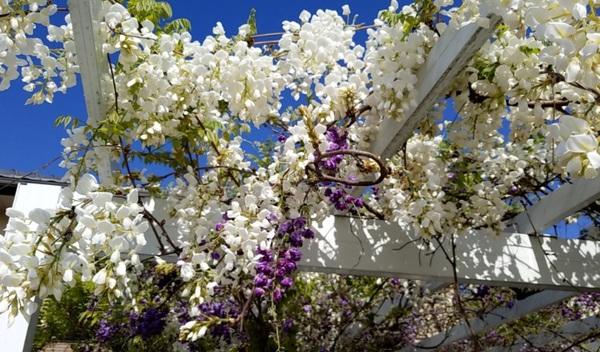 今年も咲いた白い藤の花
